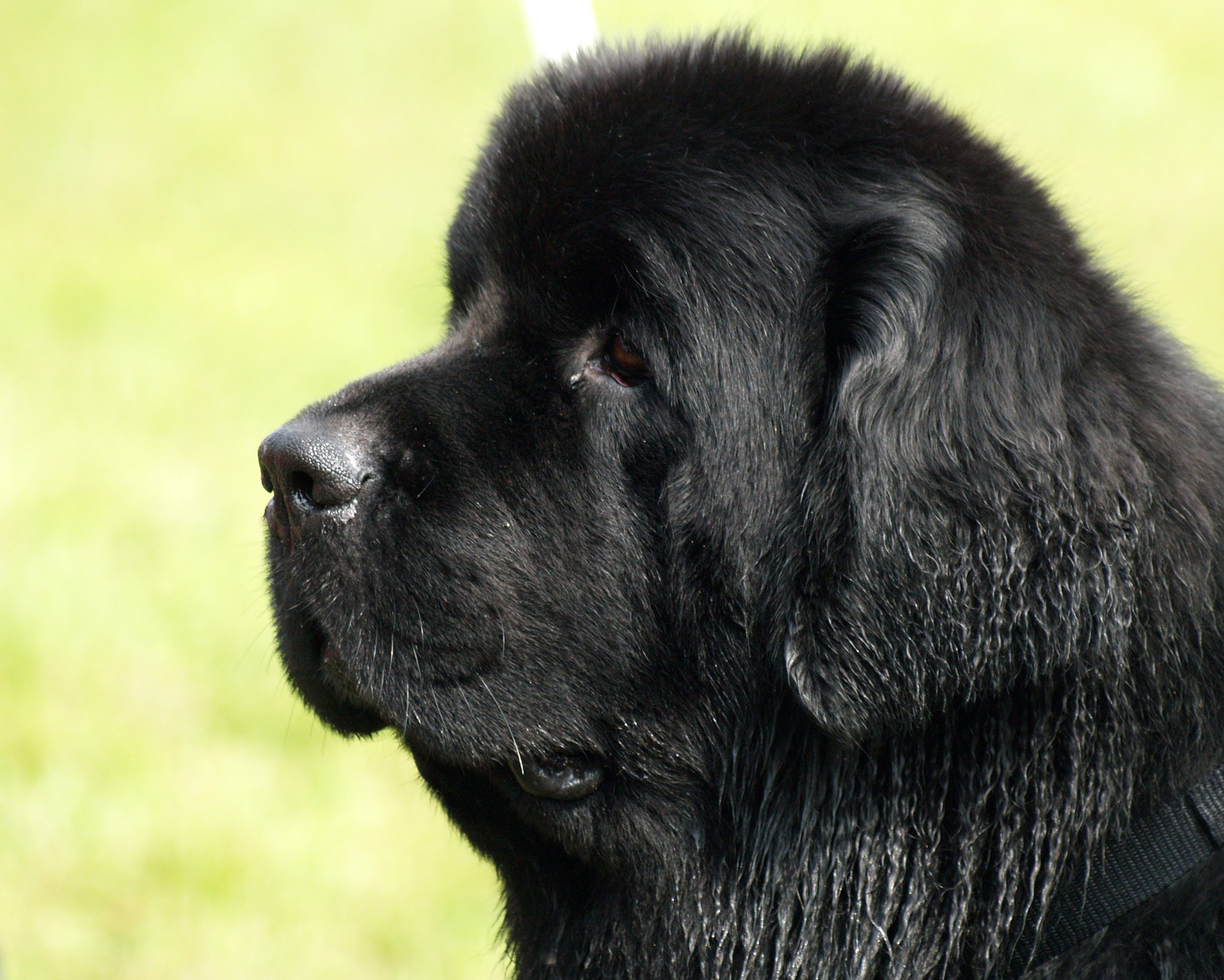 Newfoundland Dog widescreen wallpapers
