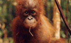 Orangutan Wallpapers hd