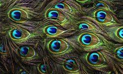 Peacock widescreen wallpapers