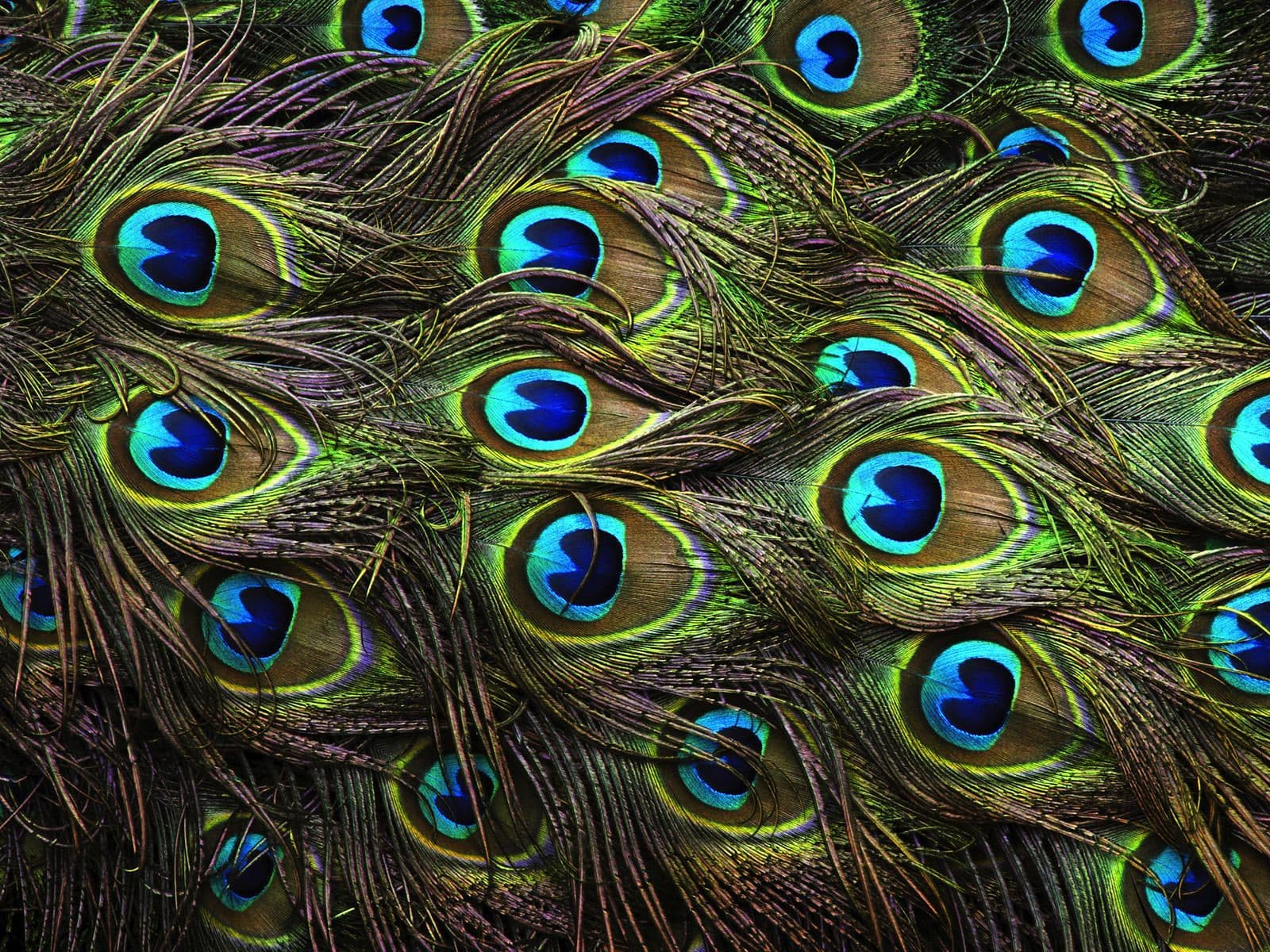 Peacock widescreen wallpapers