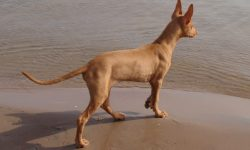 Pharaoh hound widescreen wallpapers
