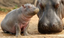 Pygmy hippopotamus widescreen wallpapers