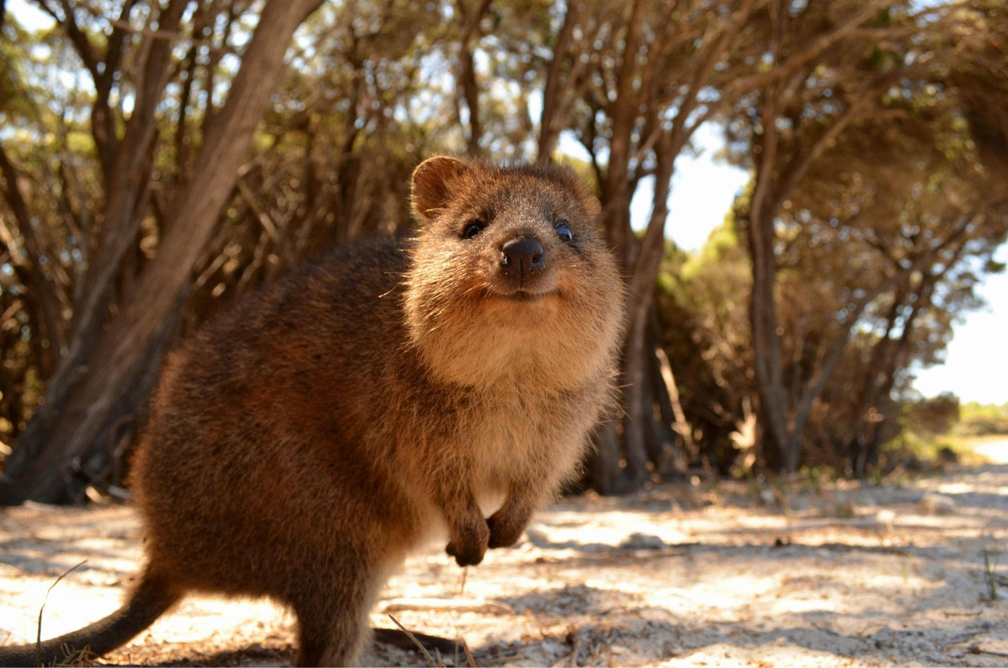 Quokka widescreen wallpapers