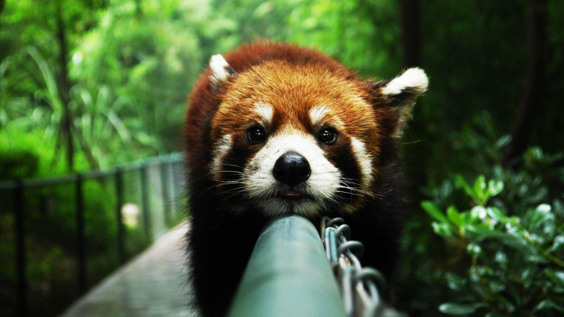 Red panda widescreen wallpapers