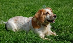 Russian Spaniel widescreen wallpapers