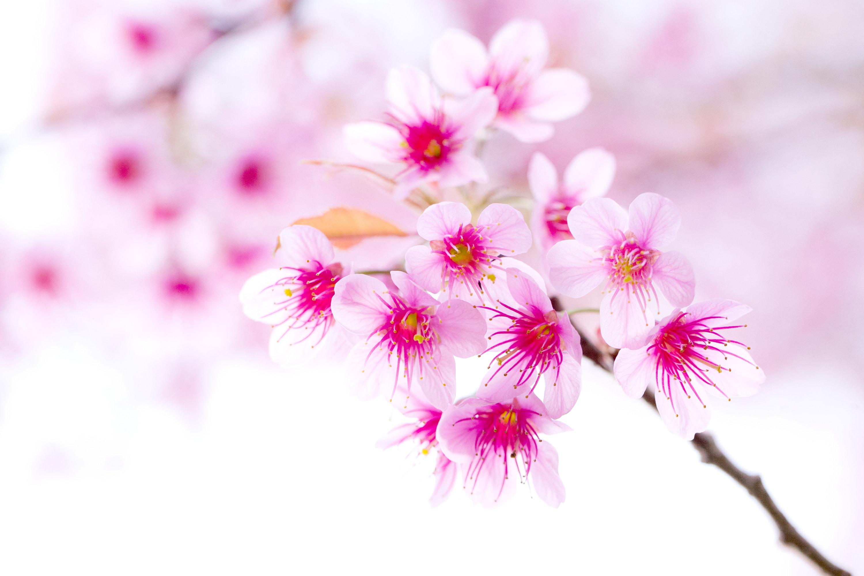 Sakura flower widescreen wallpapers