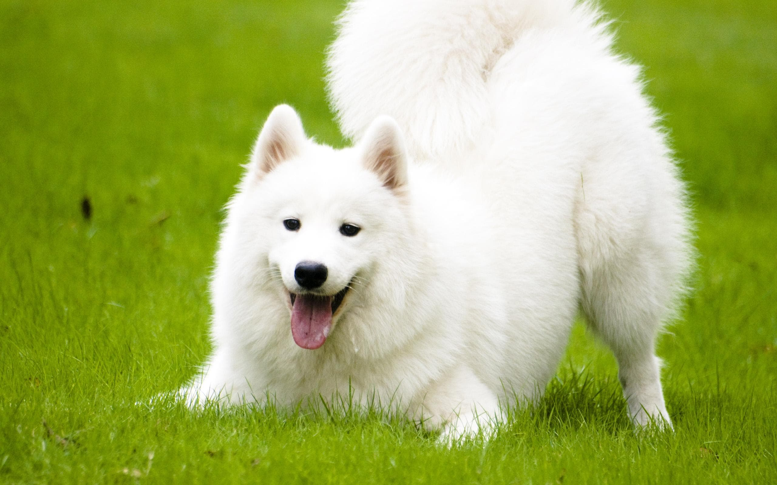 Samoyed Husky widescreen wallpapers