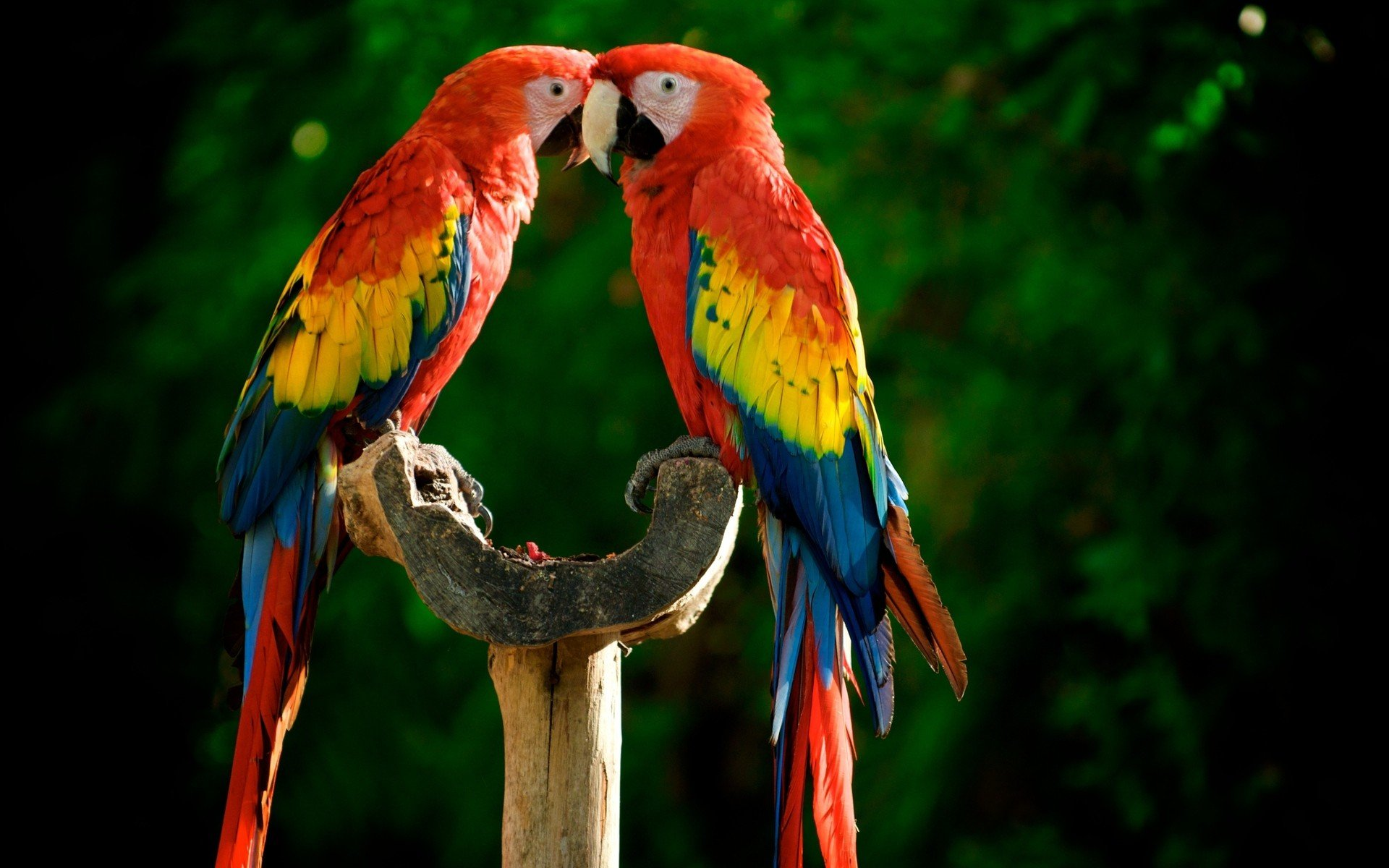 Scarlet macaw widescreen wallpapers
