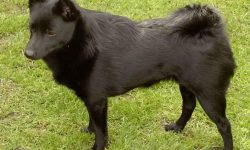 Schipperke widescreen wallpapers