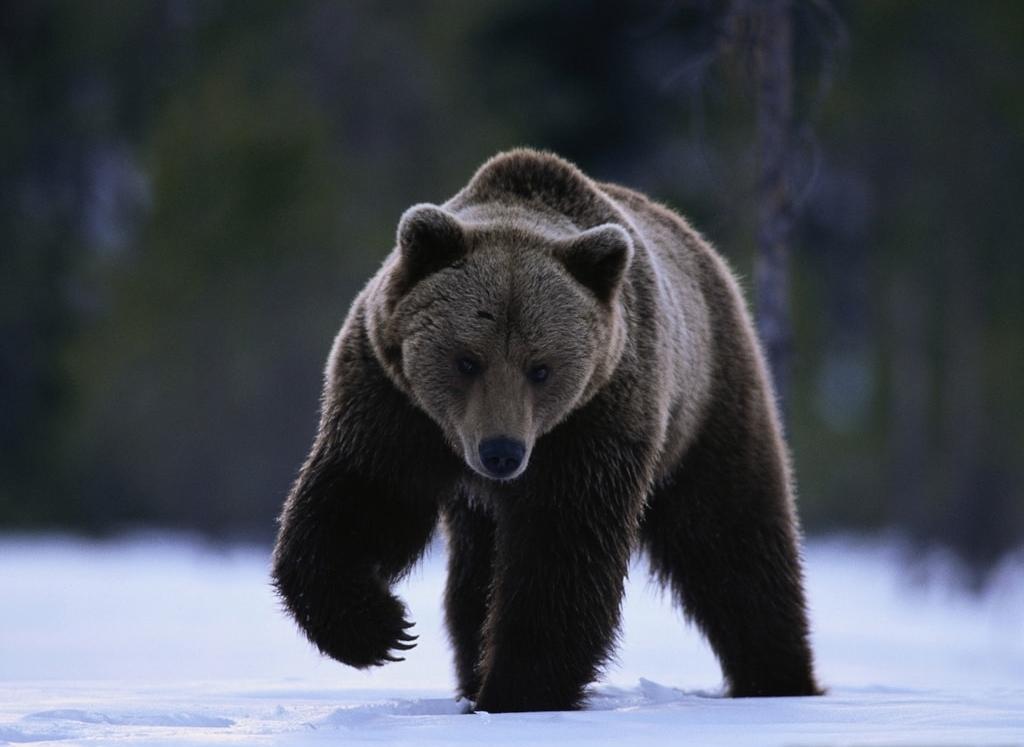 Bear widescreen