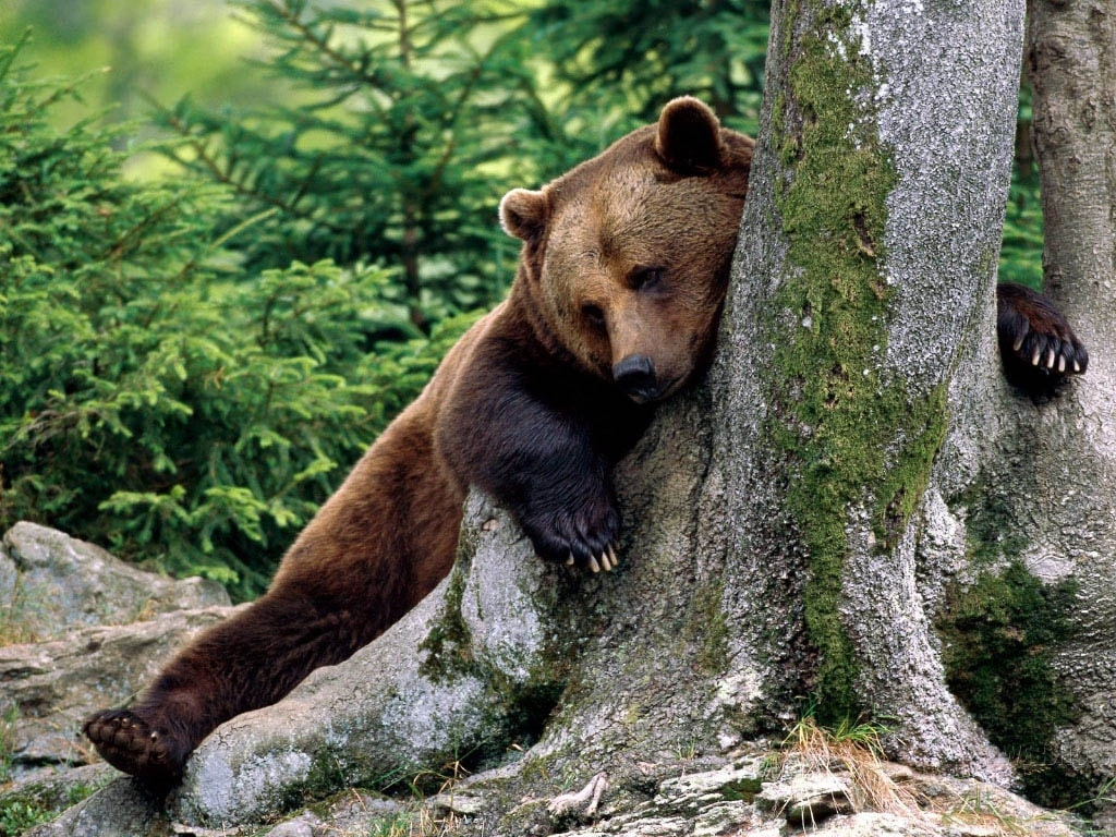 bear hd wallpapers