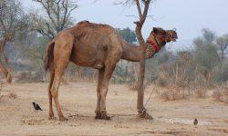 Camel Free pics