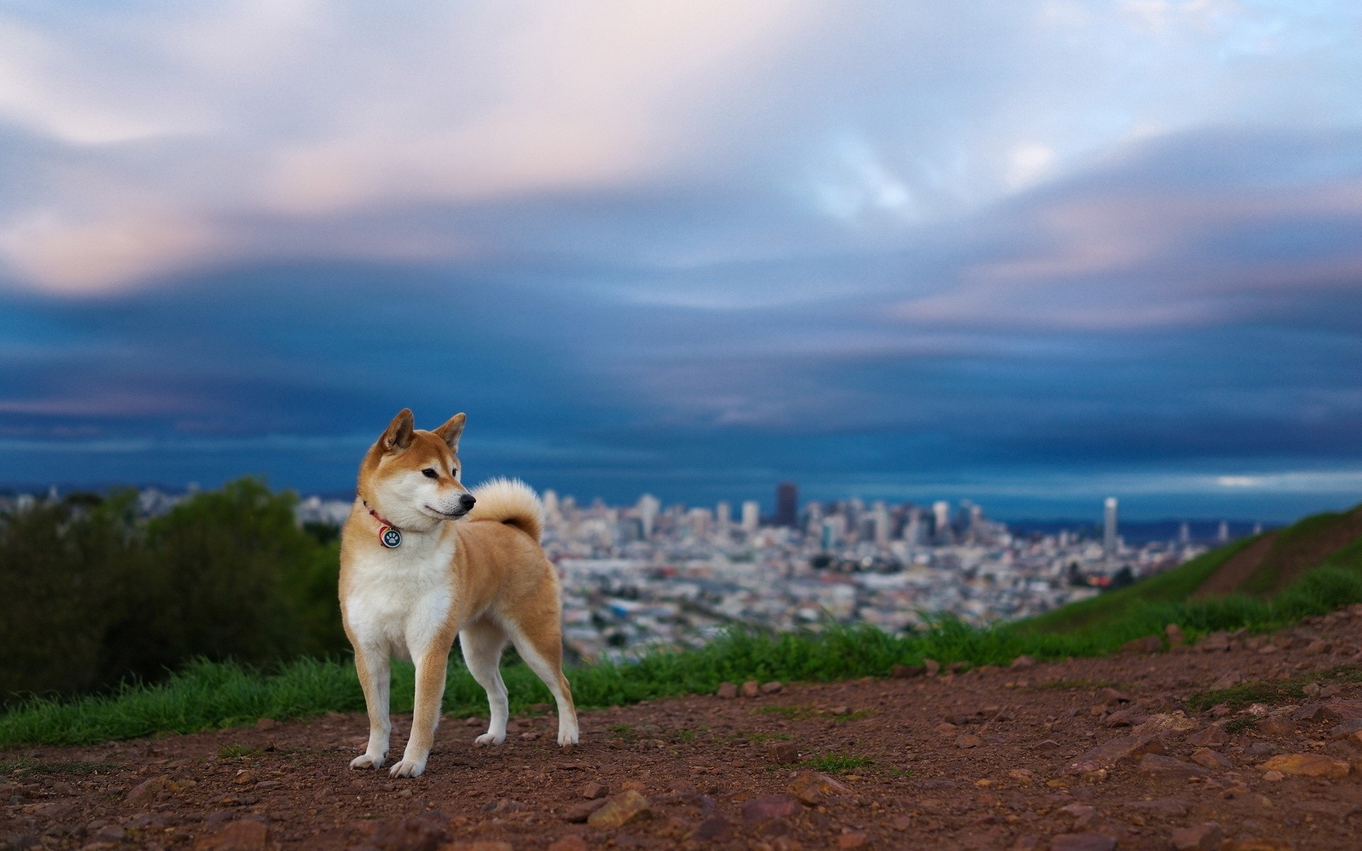 Akita Inu Pictures