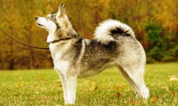 Alaskan Klee Kai HQ wallpapers