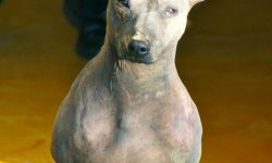 American Hairless Terrier HD pics