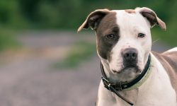 American Pit Bull Terrier HQ wallpapers
