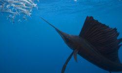 Atlantic sailfish Pictures
