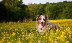 Australian Shepherd Pictures