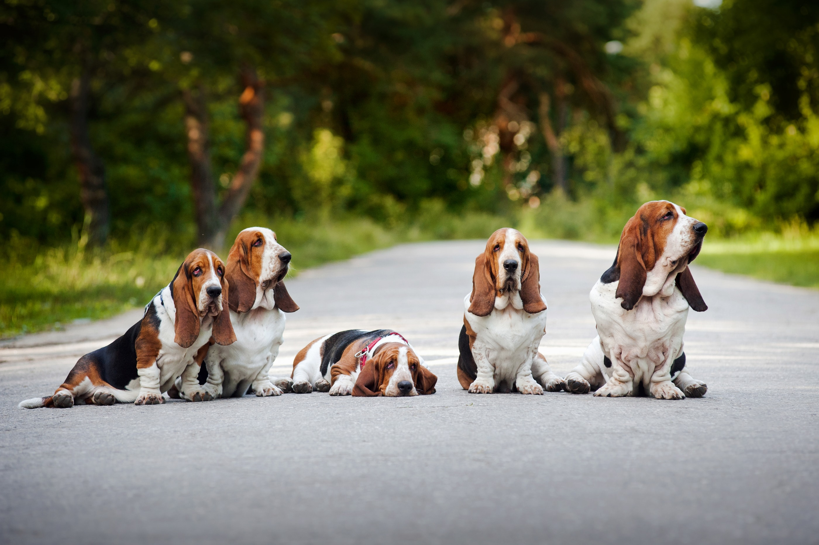 Basset Pictures