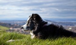 Border Collie Wallpapers hd