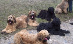 Briard Pictures