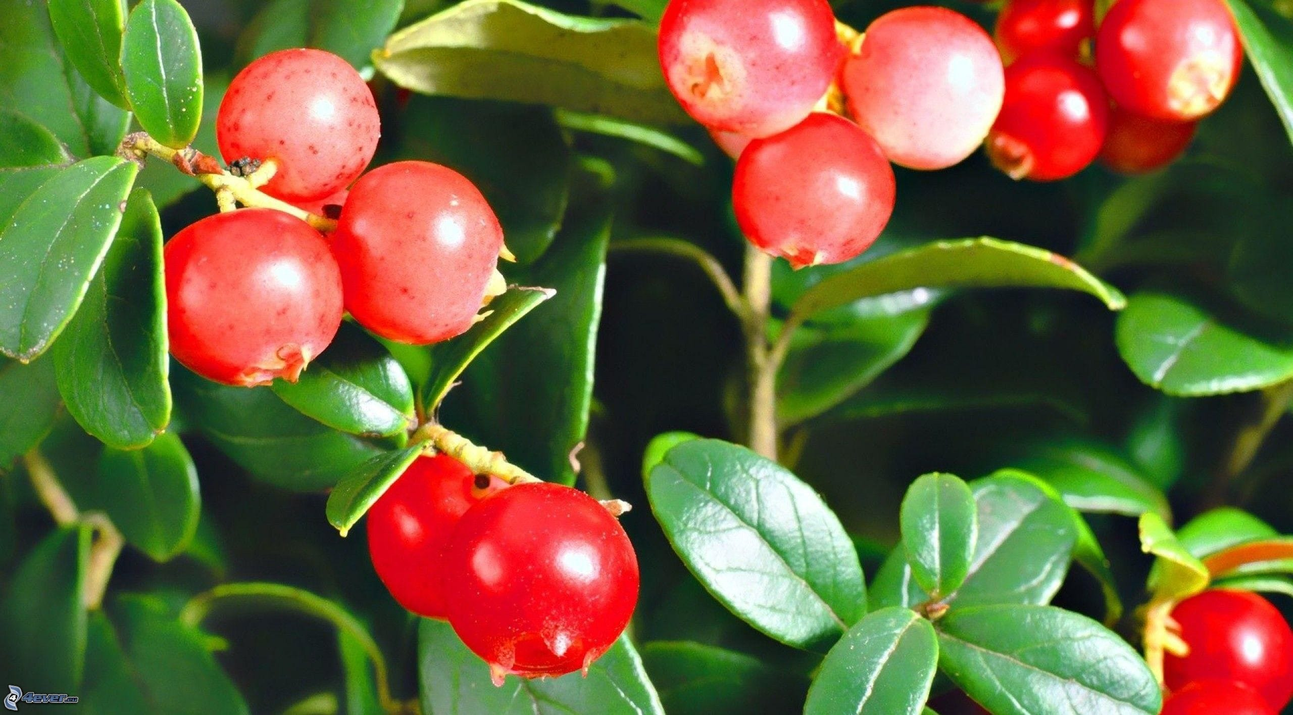 Cowberry Wallpapers hd