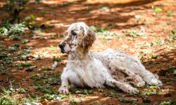 English setter HQ wallpapers