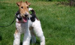 Fox Terrier Pictures