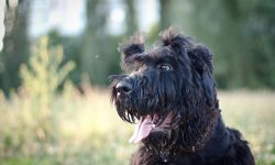 Giant Schnauzer HQ wallpapers