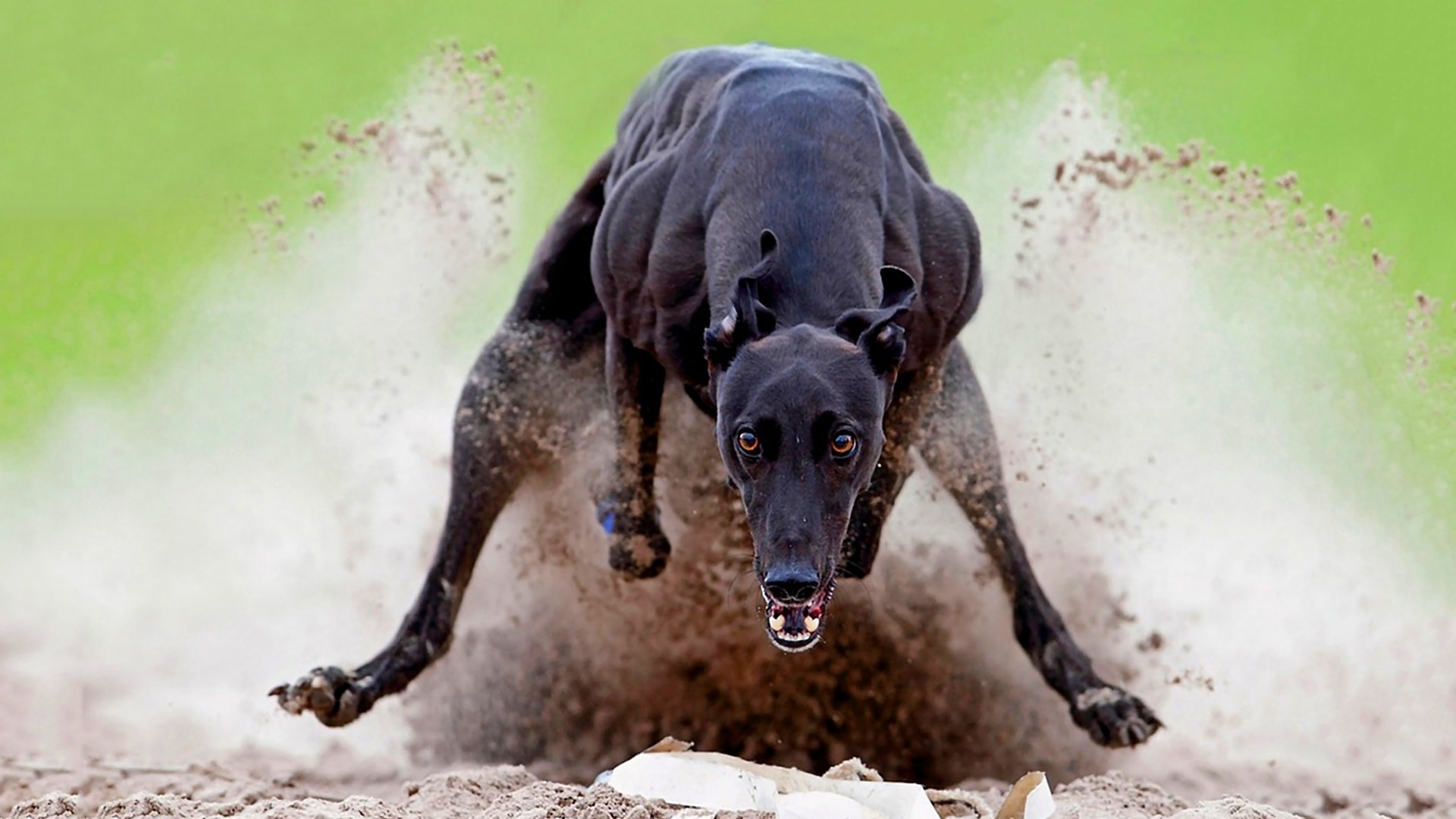 Greyhound Pictures