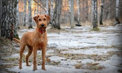 Irish Terrier Wallpapers hd