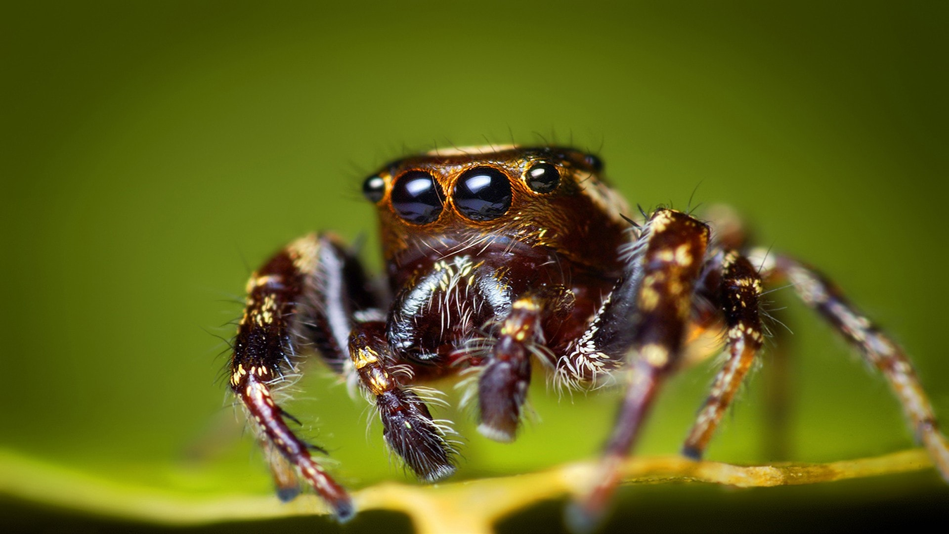 Jumping spider Pictures