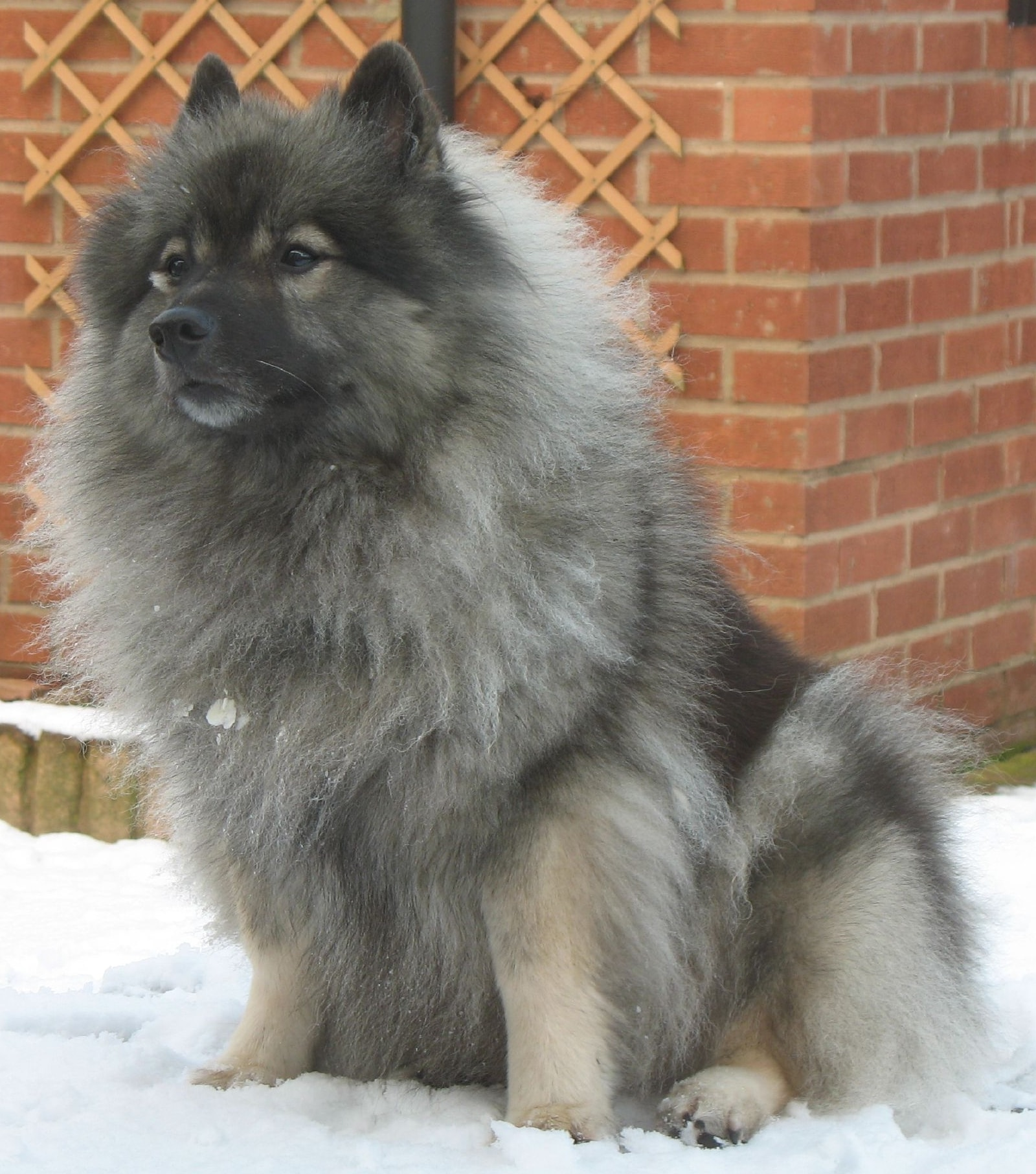 Keeshond HQ wallpapers