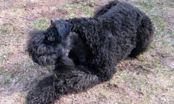 Kerry Blue Terrier Pictures