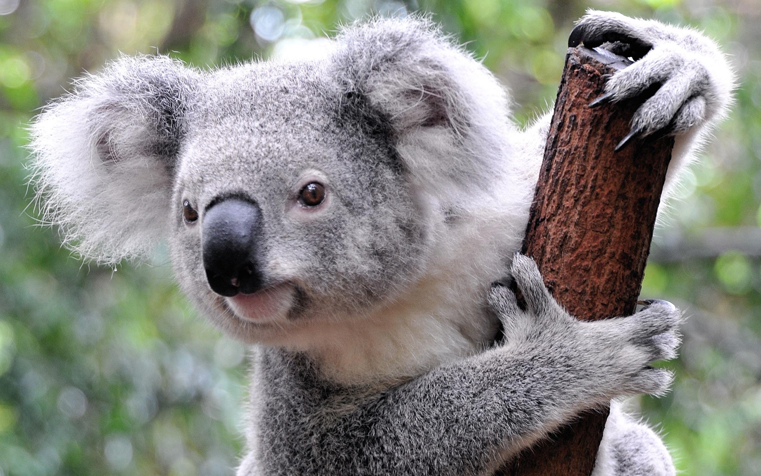 Koala HD Wallpapers   7wallpapers.net