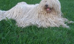 Komondor HQ wallpapers