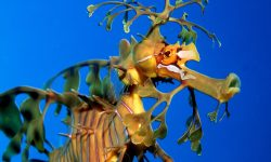 Leafy Seadragon Pictures