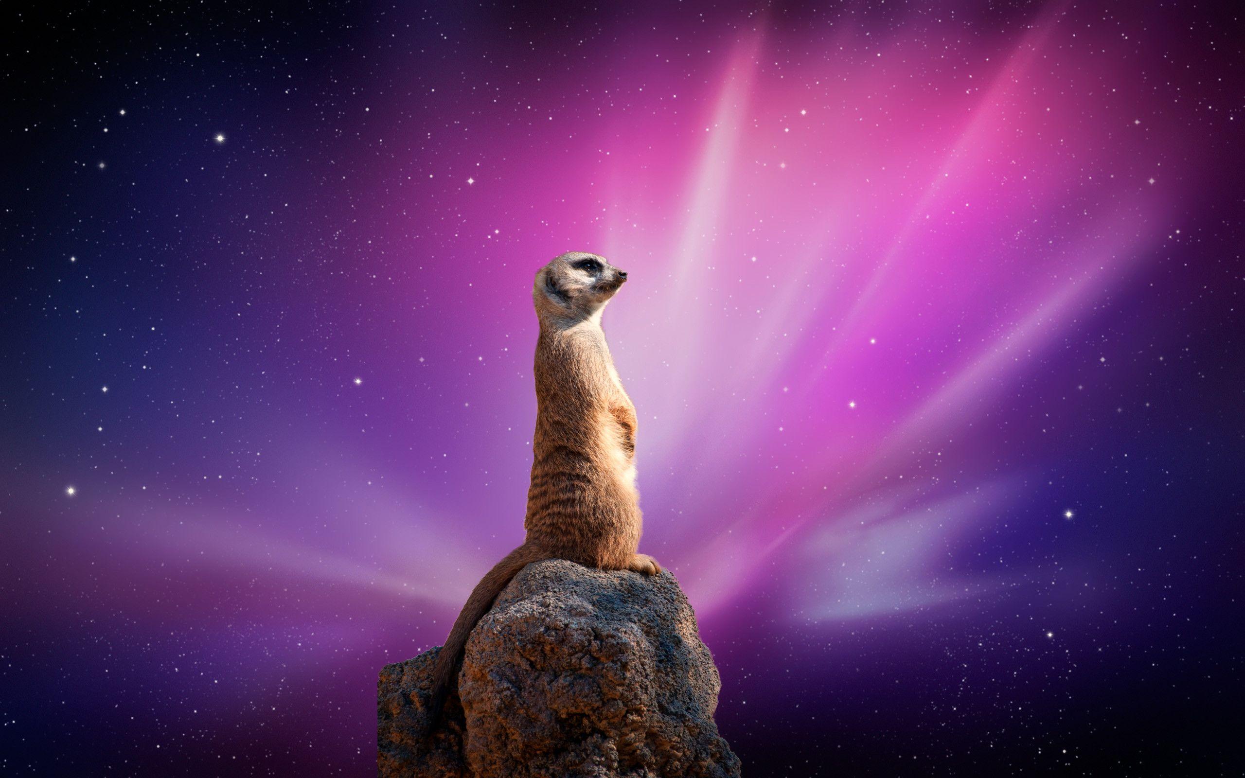 Meerkat Pictures