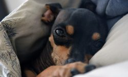 Miniature Pinscher HQ wallpapers