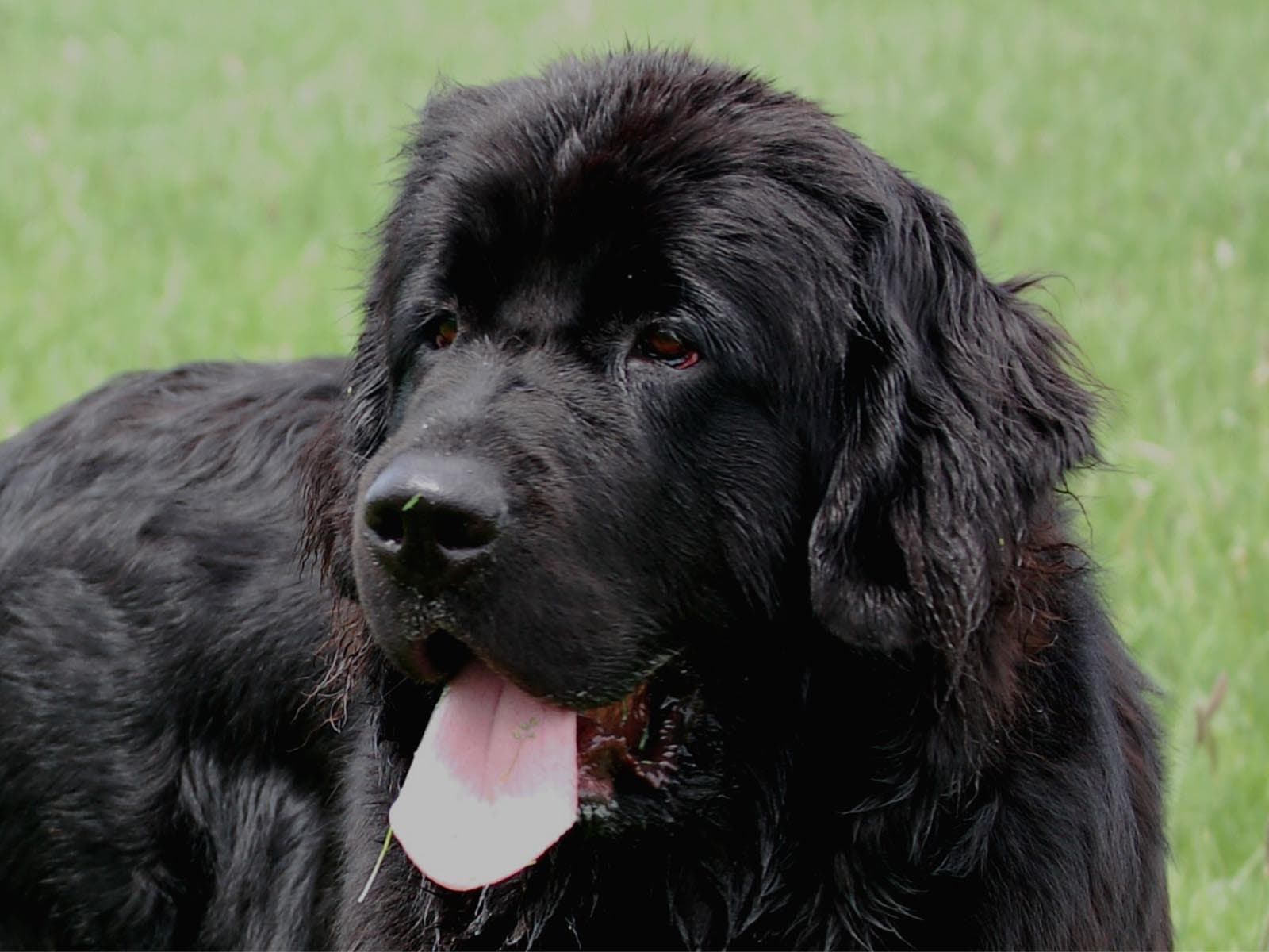 Newfoundland Dog Pictures