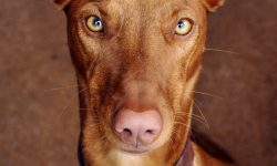 Pharaoh hound Pictures