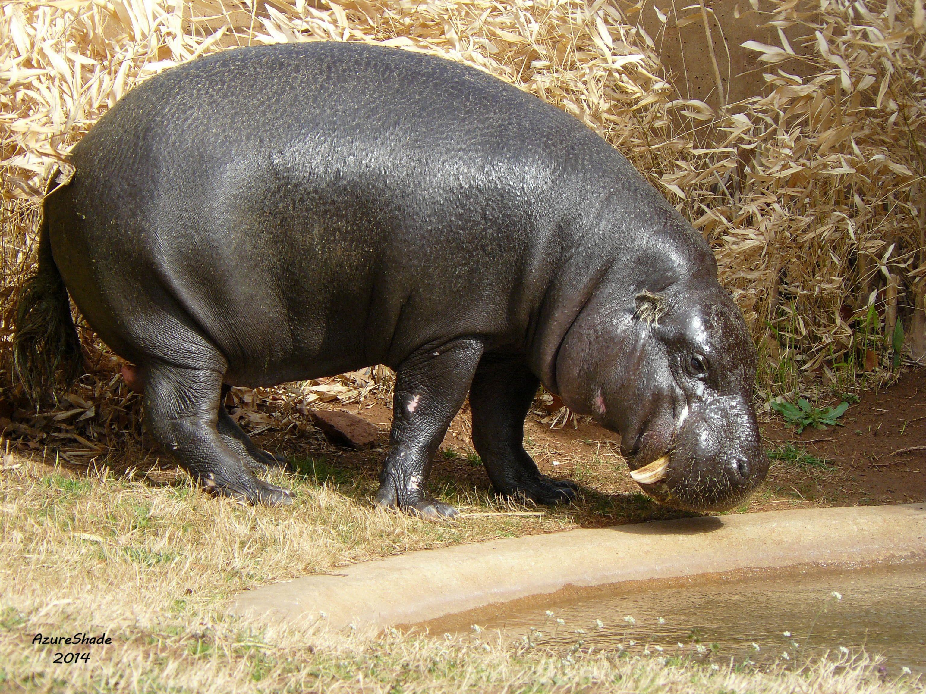 Pygmy hippopotamus Pictures