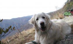 Pyrenean Mountain Dog widescreen wallpapers