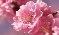Sakura flower Pictures