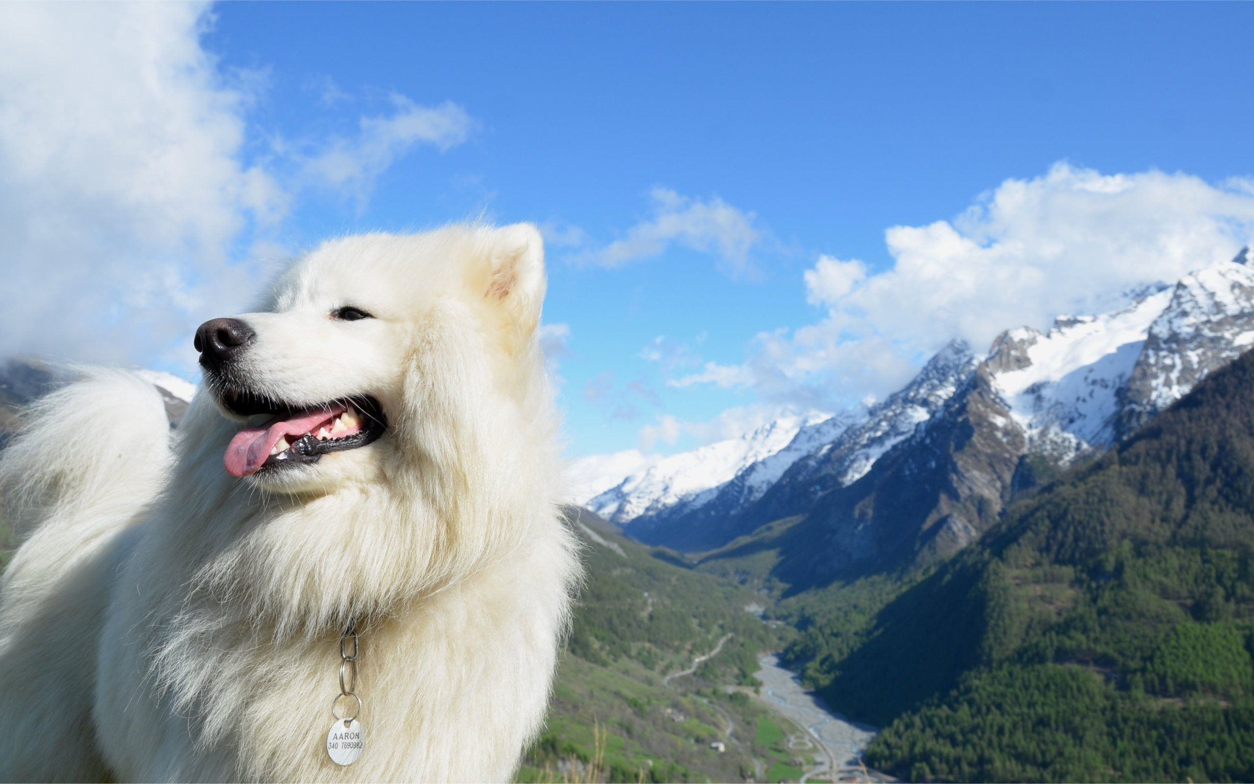 Samoyed Husky Pictures