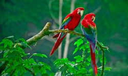 Scarlet macaw Pictures