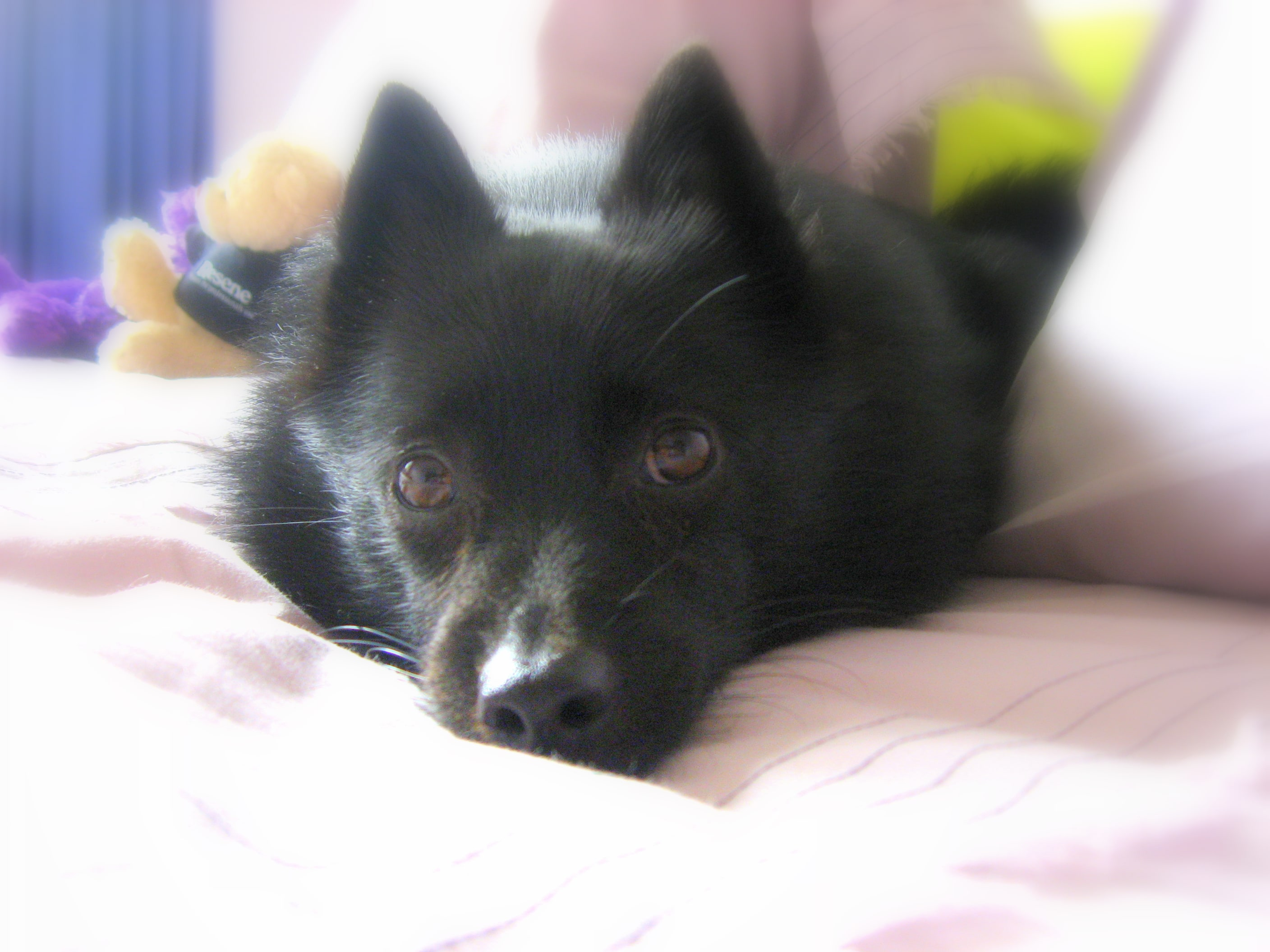 Schipperke HQ wallpapers