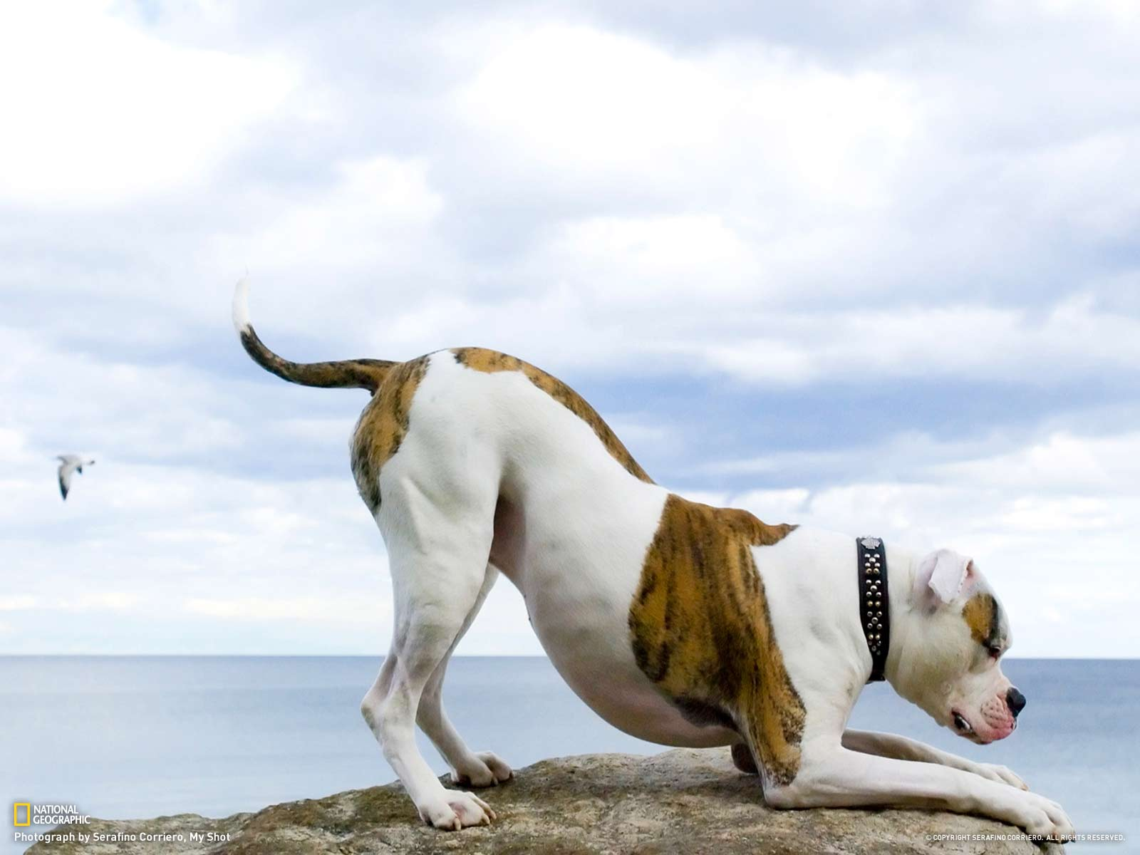 American Bulldog HQ wallpapers