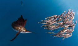 Atlantic sailfish HQ wallpapers