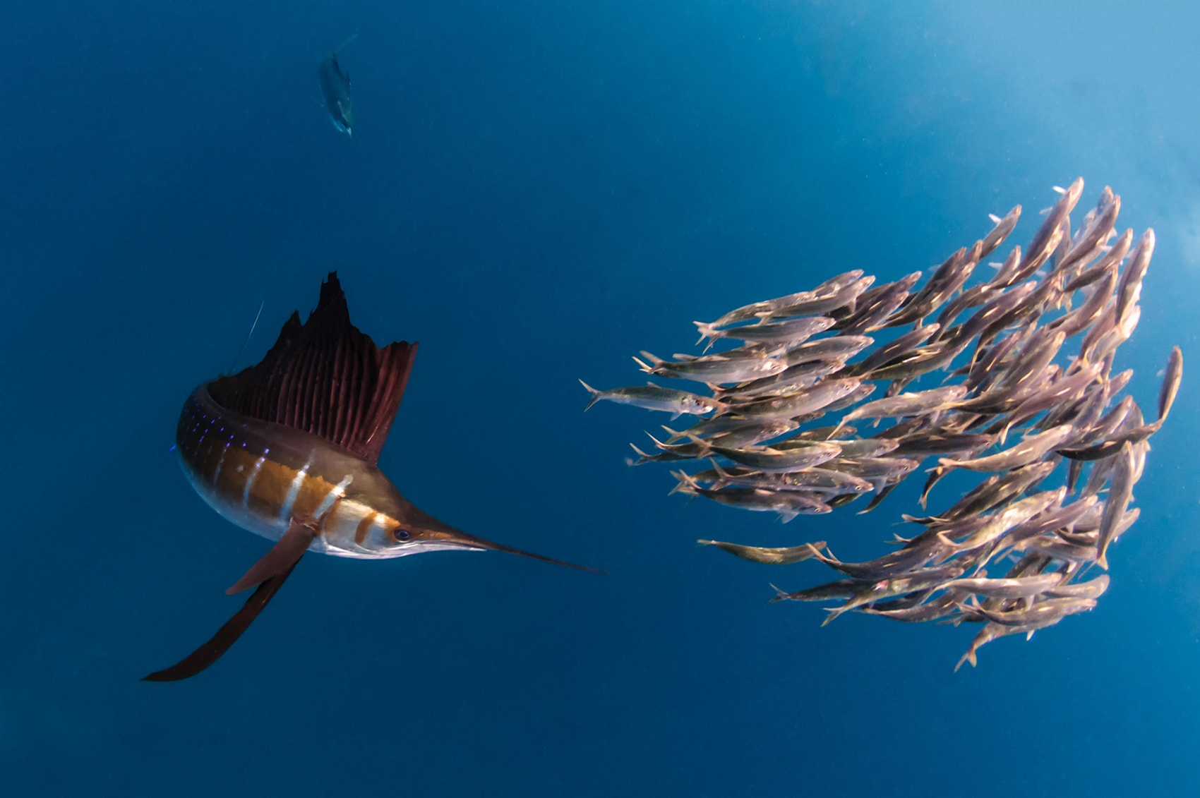 Atlantic sailfish HQ wallpapers